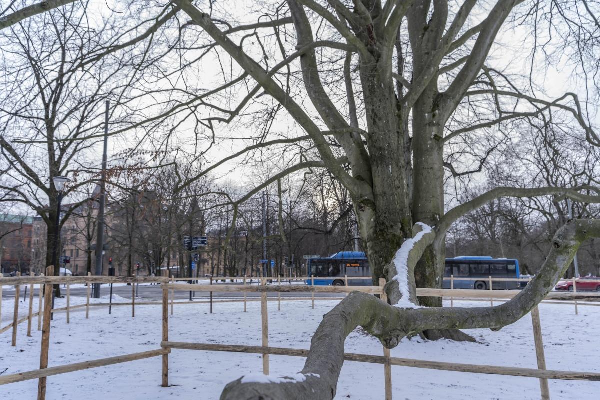 På väg mot Hagakyrkan såg jag detta väldiga träd, som behövde stöttning. Den  är kringgärdad med staket och  jag hoppas att den får vara kvar.
